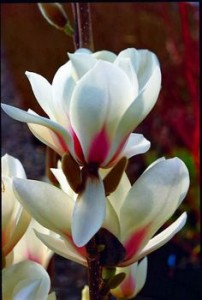 magnolia--manchu-fan-beautiful.jpg